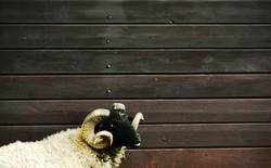 Schaf im Schafspelz