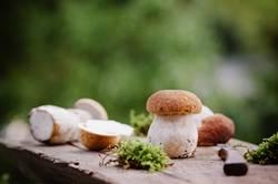 Frisch gesammelte Steinpilze auf einem Holzbrett
