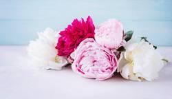 Pfingstrosen in rosa, pink und weiß vor blauem Hintergrund