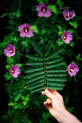pink silk tree leaf and pink flowers