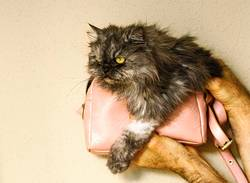 persian cat inside small pink bag II