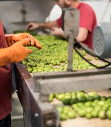 Anonymous workers in olives factory quality control