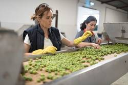 working women in olives packing