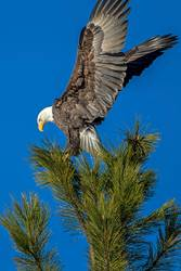 Majestic eagle on tree.