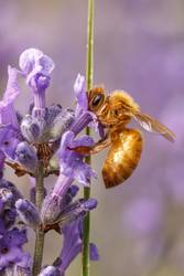 Honey bee gathers nectar.