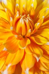 Close up of pretty dahlia flower.