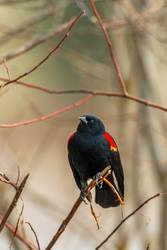 Red-winged blackbird perched on twig.