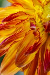 Red and yellow dahlia petals.