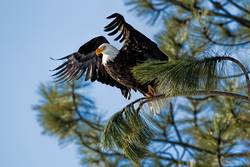 Eagle starts its flight from tree.