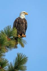 Majestic eagle on a pine tree branch.