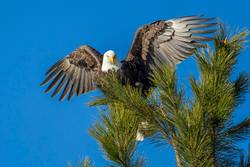 Eagle with wings spread wide.