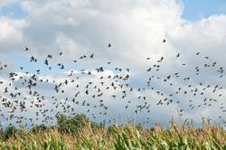birds above cornfield