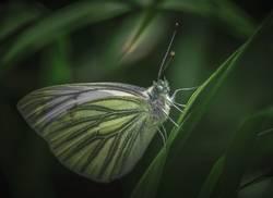 Schmetterling in der Dämmerung