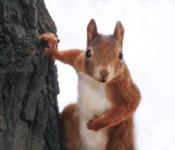 Neugieriges Eichhörnchen am Baum