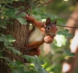 Aufmerksames Eichhörnchen mit Nuss im Maul