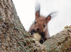 Neugierig schauendes Eichhörnchen