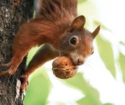 Eichhörnchen mit Nuss im Maul