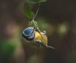 Blaumeise hängt an einem Zweig
