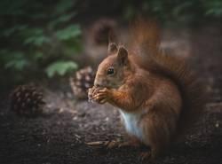 Eichhörnchen frisst Nuss