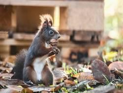 Stehendes Eichhörnchen mit Nuss im Maul