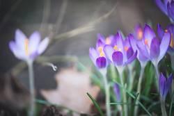Hübsche Krokusblumen
