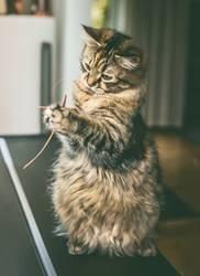 Katze sitzt auf den Hinterbeinen und spielt mit Gras