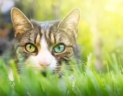 Katze mit rosa Nase und verschiedene Augen
