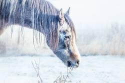 Winterpferdchen