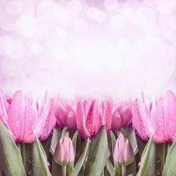 Pink frühling Tulpen