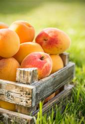 Aprikosen in alten Holzkiste auf dem Rasen