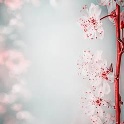 Schöne Kirschblüte, Nahaufnahme
