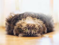 Fluffige katze entspannt sich auf dem Rücken