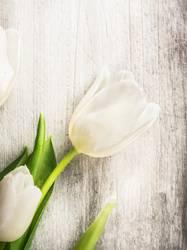 Weiße Tulpe auf grauen Holz