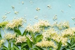Holunderblüten auf hellblauem Hintergrund