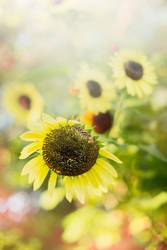 Sommer Natur Hintergrund mit Sonnenblumen