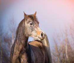 Araber Pferd mit Winterfell in Morgenlicht
