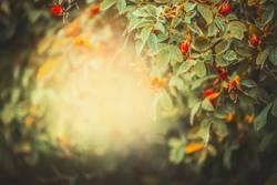 Herbst Natur Hintergrund mit Hagebutten