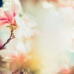 Wunderschöne Magnolienblüte im Sonnenlicht