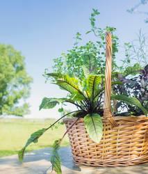 Korb mit Kräutern auf Holztisch im Sommergarten