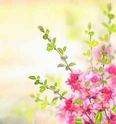 Pink blühende Strauch, Frühling Hintergrund
