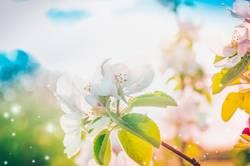 Sonnigen Frühling Baumblüte
