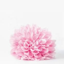 Pastellrosa Blumen Blüte auf weißem Hintergrund