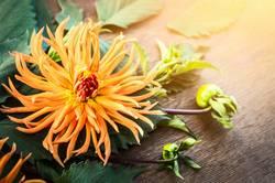 Orange Dahlie Blume im Sonnenlicht