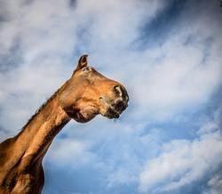 Braunes Pferd am Himmel Hintergrund