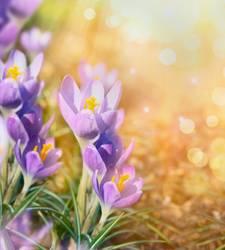 Krokus Blumen auf sonnigem Natur Hintergrund