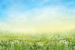 Wiese mit weißen Lowenzahn Blumen