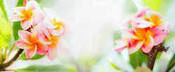 Frangipani Blumen auf tropischen Natur Hintergrund