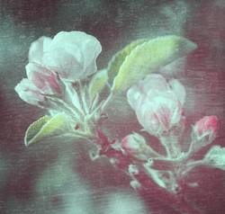 Apfelblüten auf Textur Hintergrund