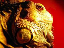 Tyraosaurus Iguanus