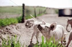 Schwein haben
